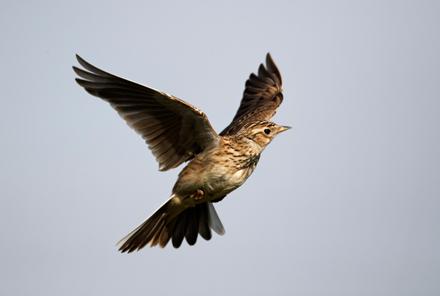 Skylark-Flying-June-17-Blog